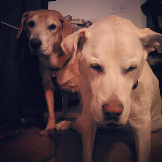 "Sophie ""helping"" Zeus sit this morning... #instadog #dogstagram #seniordog #megaesophagus #ilovemyseniordog #siblings #love #mybabies"