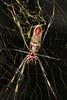 Underside of Nephila clavipes