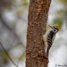 Small photo of Pic chevelu - Hairy Woodpecker