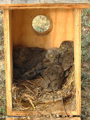 Caja nido de autillo