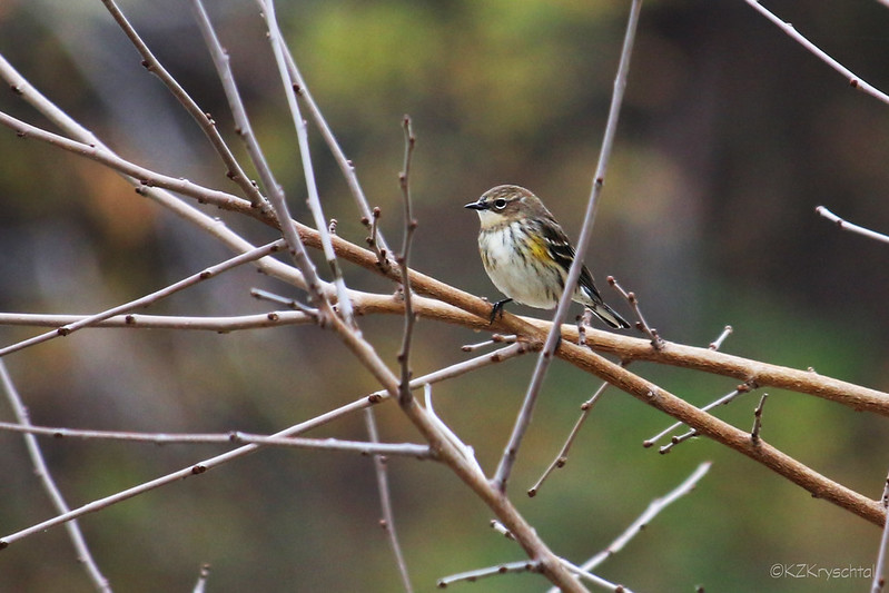 IMG_5800YellowRumpedWarbler