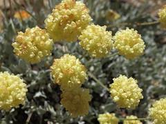 butterballs, Eriogonum ovalifolium