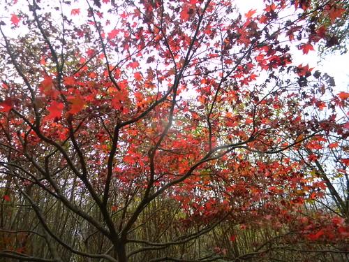 Maple in Winkworth