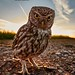 Wide angle Wildlife - Little Owl by Austin Thomas Photography