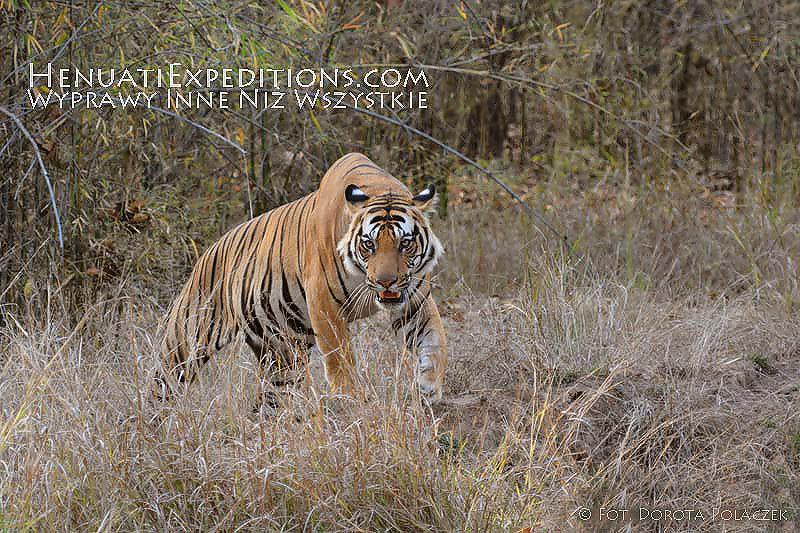 Bengal tiger(Panthera tigris tigris)