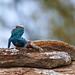 Small photo of Southern Rock Agama (Agama atra) male