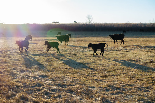 colorado commute cows outdoors sunrise