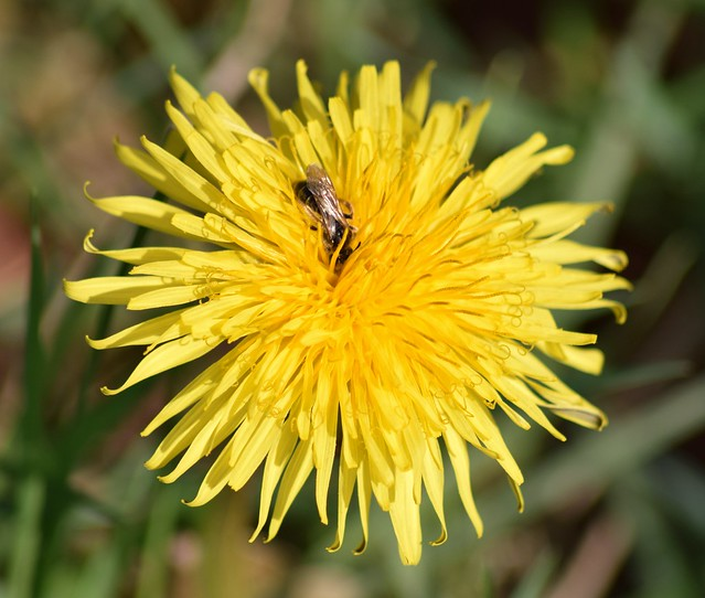 Bee and the dandelion
