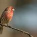 A Male Finch by Ken Krach Photography