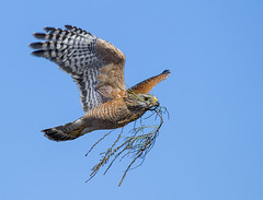 Red Shouldered Hawk -Buteo lineatus_