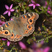 Small photo of Meadow Argus on Calytrix fraseri