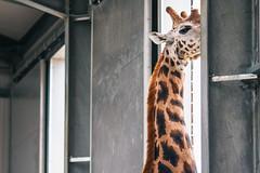 twycross zoo  -3084