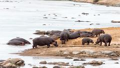 Hippopotamus at Mara River, Serengeti, Tanzania