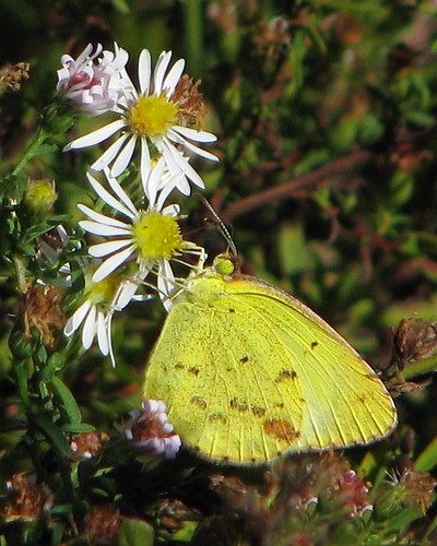Little Yellow (Pyrisitia lisa) - yesterday