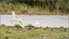 Egrets landing