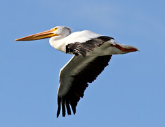 white stork(0.0), stork(1.0), animal(1.0), pelican(1.0), wing(1.0), fauna(1.0), beak(1.0), bird(1.0), flight(1.0), seabird(1.0),