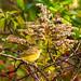 Palm Warbler - Good Perch
