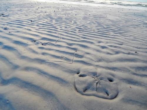 Sand Dollar Under Sand