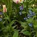 jdy109 bpl mertensia&narcissus&tulipa epl Bgr1Egr Blo RbgbYard Elo XX20110419a8893.jpg