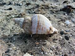 snail(0.0), animal(1.0), sea snail(1.0), molluscs(1.0), marine biology(1.0), seashell(1.0), fauna(1.0), close-up(1.0), conch(1.0), wildlife(1.0),