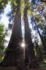 Setting Sun through Giant Sequoia