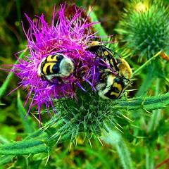 bumlebees