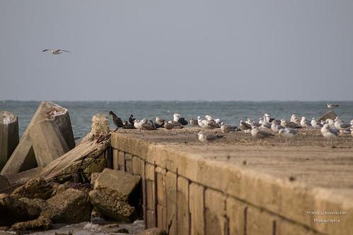 Vogelparadies Helgoland