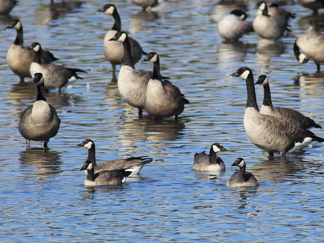 Cackling Geese 20141022
