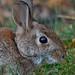 Eye Of Rabbit by Odonata457