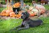Sadie and the pumpkins