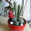 My red Container #Cacti #garden #succulent #Cactus #containergarden