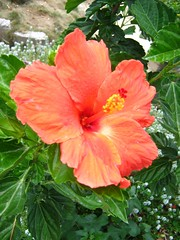 annual plant, flower, plant, malvales, chinese hibiscus, petal,
