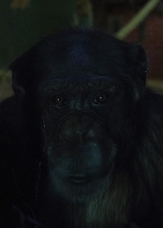 Emotional Ape