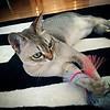 Daily shot of Whiskey #Singapura #cat #CatsOfInstagram #Manhattan #NYC