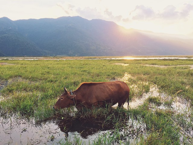 Lake Phewa, herding
