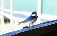 blue jay(0.0), jay(0.0), crow-like bird(0.0), animal(1.0), wing(1.0), fauna(1.0), bluebird(1.0), blue(1.0), beak(1.0), bird(1.0),