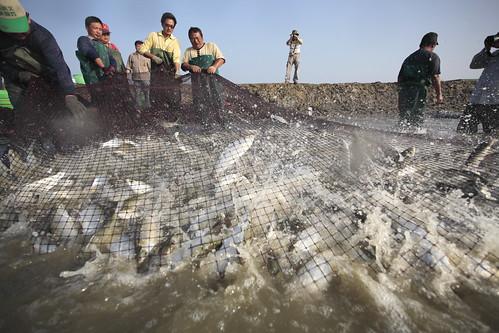 台江牽罟虱目魚。(圖片來源:營建署)