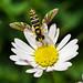 Weibliche Gemeine Stiftschwebfliege (Hoverfly, Sphaerophoria scripta) auf einem Gänseblümchen