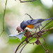 Flame-throated Warbler (Oreothlypis gutturalis)