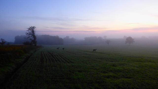 Rencontre avec de jeunes chevreuils à l'aube - Bocage du Boischaut - Cher - Berry - Centre - France