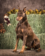 dog breed, animal, australian kelpie, dog, german pinscher, manchester terrier, dobermann, pet, mammal, pinscher, terrier,