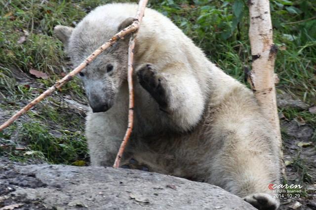 Eisbär Nobby 2014_10_29 020