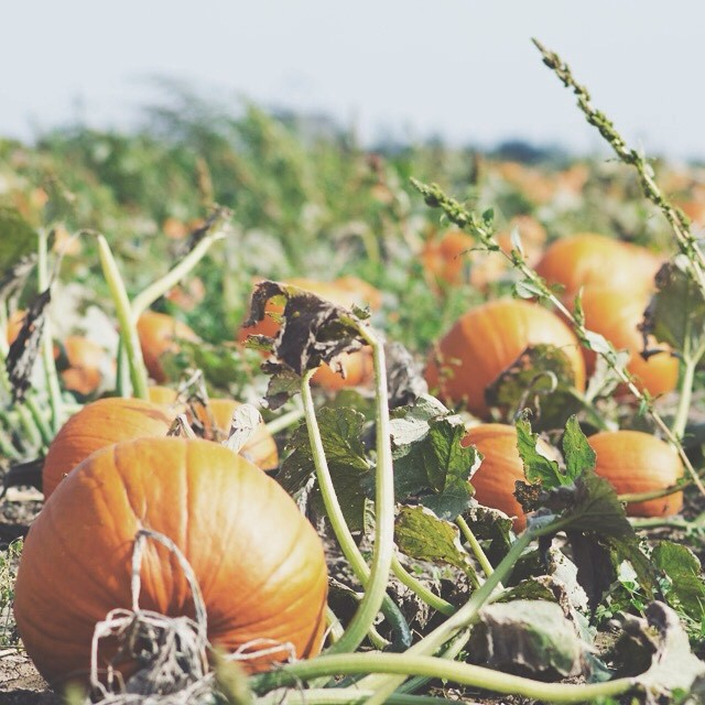 Perfect Pumpkin Patch | personallyandrea.com
