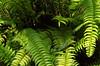 Green Garden Lizard (Calotes calotes)