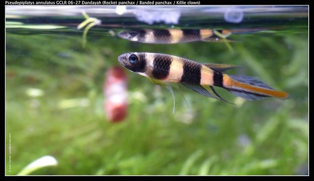 Pseudepiplatys annulatus GCLR 06-27 Dandayah
