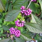 winterberry - October