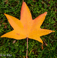 Autumn leaf-Chagrin River Park