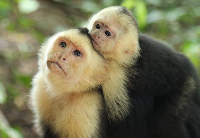 Baby Capuchin Monkey Food