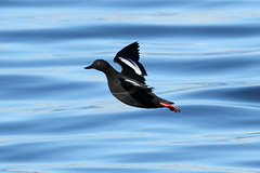 Cepphus columba (Pigeon Guillemot) - Edmonds, WA