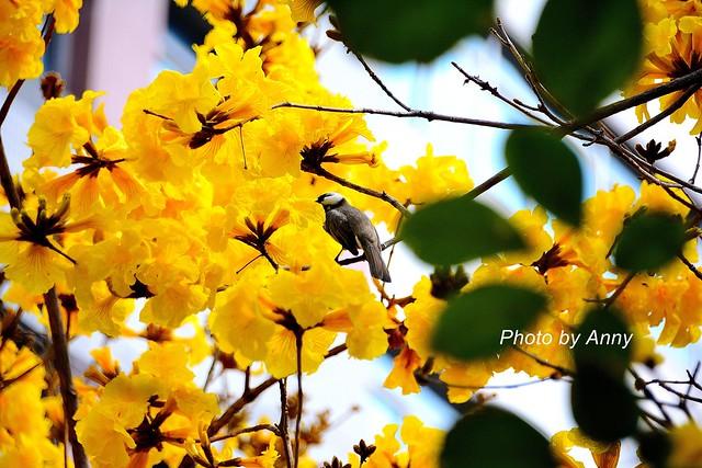 黃風鈴木25
